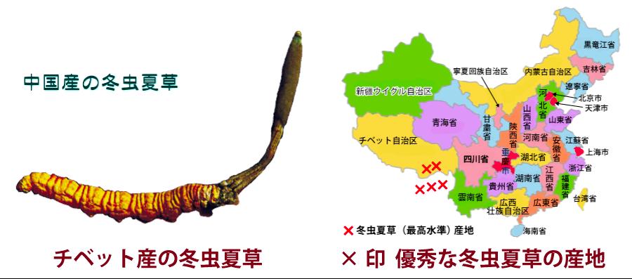 冬虫夏草チベット産