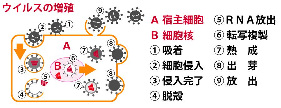細胞内ウイルス増殖